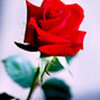 Redrose10