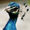 karen peacock