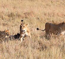 Lions Guarding a Kill, Maasai Mara, Kenya  by Carole-Anne
