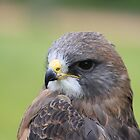 "Swainson's Hawk - ""Dusty"" by Alyce Taylor"