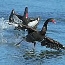 Black Swans by Robert Abraham