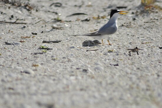 Mama and Baby Tern, As Is by Kim McClain Gregal