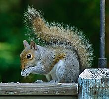 The Robber Squirrel by Robert H Carney