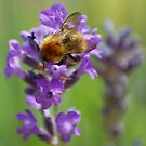 Bee on Lavender by AllSeeingEye