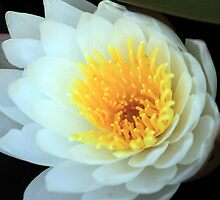 The Beauty of a WaterLily by RebeccaBlackman