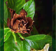 Chocolate Gardenia by Ginny Schmidt