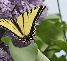 Tiger Swallowtail Butterfly by KansasA