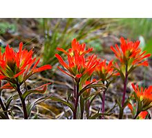 Indian Paintbrush in western Montana Photographic Print