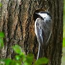 Chickadee At Nest by Robert  Mackert