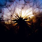 Dandelion Sunset by Zeibyasis