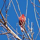 Red Cardinal Early Spring by Mardra