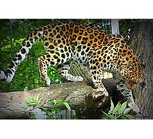 Leopard on the Prowl Photographic Print