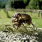Cicada Shell on Lichen by waxyfrog