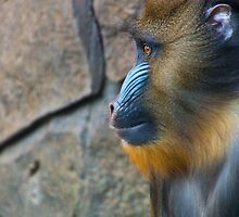 Young Mandrill by Tony Walton