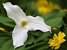 White Trillium and Yellow Anemone by T.J. Martin