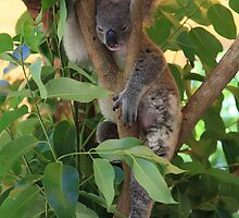 Koala  by Scott Schrapel