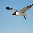 Laughing Gull by KatsEyePhoto