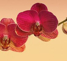 Red Orchids by Floyd Hopper