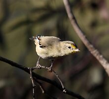 Close Inspection ... Striated Pardalote by mosaicavenues