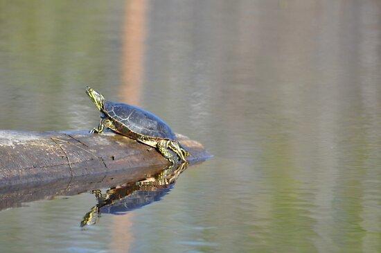 Painted Turtle - Boomer's Swamp by John Callan