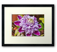 Clematis - Josephine Framed Print