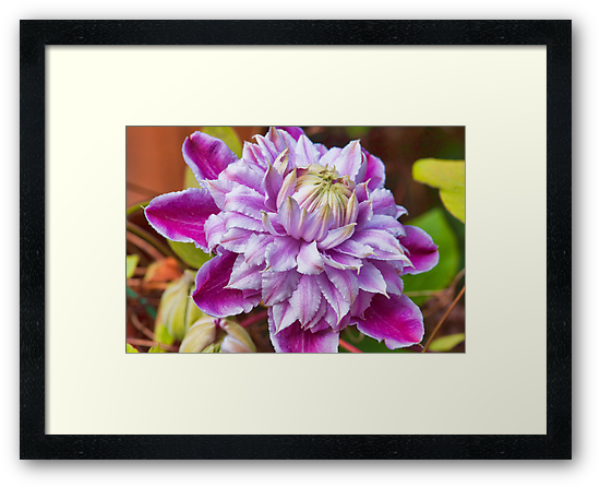 Clematis - Josephine by Ray Clarke
