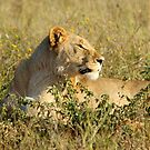 The Lions of Madikwe by MarkySA