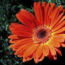 ~Orange Gerbra~ by a~m .