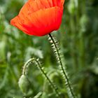 A single red poppy by David Isaacson