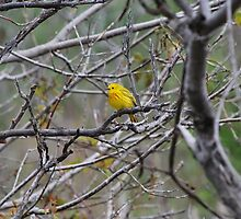 Little Yellow Warbler by deb cole