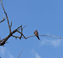 Mourning Dove by c painter