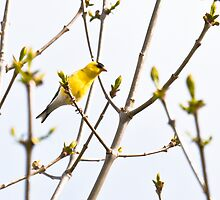 American Goldfinch bird by c painter