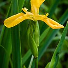 Yellow 'flag' iris by David Isaacson