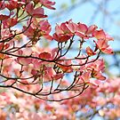 Dogwood Tree Flowering Pink Dogwood Flowers Baslee by BasleeArtPrints