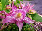 Columbine by Marcia Rubin