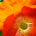 Poppy Close Up by Janice Dunbar