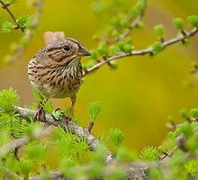 Lincoln's Sparrow on Tamarack by Michael Cummings