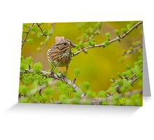 Lincoln's Sparrow on Tamarack Greeting Card