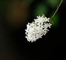 White Lilac by BigD