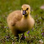"""""""Goose Stepping"""" by Jeff Weymier"""
