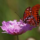 Golf fritillary's all beauty by loiteke