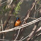 Barn Swallow by c painter