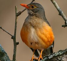 Kurrichane Thrush by naturalnomad