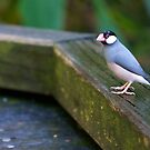 Java Sparrow by Michelle Dewis