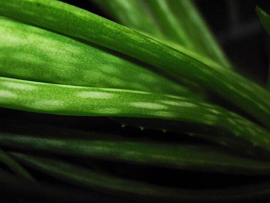Aloe by marybedy