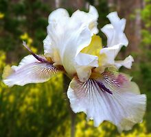 Iris in Midday Light by Kate Eller