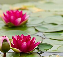 lily pad with flowers by Robby Ticknor