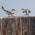 Least Tern Feeding Time by KatsEyePhoto