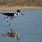Black-necked Stilt by KatsEyePhoto