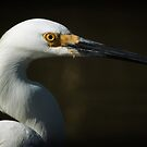 Portrait of an Egret by KatsEyePhoto